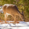 A whitetail doe forages in the snow at the Wichita Mountains Wildlife Refuge near Lawton.