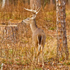 A whitetail buck along the Mountain Fork River in Beavers Bend State Park.