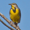 An Eastern Meadowlark perched in the Canadian River flat west of Norman.