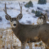 A buck mule deer grazes in the snow at Black Mesa State Park in the Oklahoma panhandle.