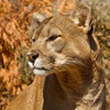 A cougar in the eight-acre Oklahoma Trails Exhibit of the Oklahoma City Zoo.  The zoo has been rated among the top family-friendly zoos in the nation and is home to over 1,800 animals on 120 beautiful acres.