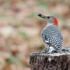 A female Red-bellied Woodpecker spotted in northeastern Oklahoma near West Siloam Springs.