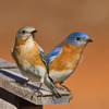 This pair of Eastern Bluebirds has chosen a nest box in Norman.