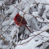 A lone cardinal stands out against snow covered limbs at Boiling Springs State Park in Woodward.