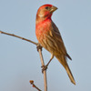 This male house finch was spotted in Norman.