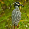 A Yellow-crested Night Heron at Beavers Bend State Park in southeast Oklahoma.