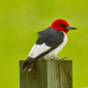A Red-headed Woodpecker in the Broken Bow City Park.
