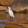 A Snowy Egret on a Norman lake.