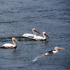 Pelicans migrate through Oklahoma in the spring and fall each year.  This group was spotted at Lake Eufaula.