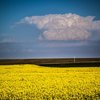 Colorful canola fields make back road drives near Hinton scenic.