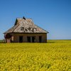 An abandoned farmhouse surrounded by a field of brilliant canola west of Hinton.