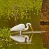 A Great Egret hunts amidst flooded timber near the Canadian River in Norman.