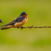 Barn Swallows rest on a barbed wire fence near Norman.