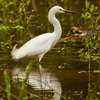 A Snowy Egret foraging in a flooded field near the Canadian River in Norman.
