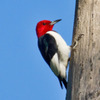 A Red-headed Woodpecker near the Canadian River in south Norman.