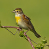 A colorful male Dickcissel on a hayfield in south Norman.