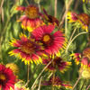 These Indian Blankets, the official Oklahoma state wildflower, were spotted near Lake Thunderbird in Norman.