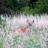 A fawn watches the horizon near Lake Eufaula in eastern Oklahoma.