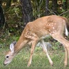 This fawn was spotted at Beavers Bend State Park in southeast Oklahoma.
