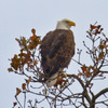 A mature Bald Eagle wintering in southeast Oklahoma's LeFlore County.