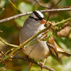 A White-crowned Sparrow spotted in LeFlore County.