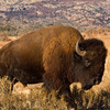 A mature bison bull at the Wichita Mountains Wildlife Refuge near Lawton.