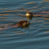 A pair of River Otters frolic in the clear blue water of Lost Lake in the Wichita Mountain Wildlife Refuge near Lawton.