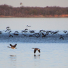 Geese take to the air from the surface of Lake Eufaula in eastern Oklahoma.