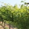 Cabernet sauvignon grapes grow along the vine at Waddell Vineyards in Ada.