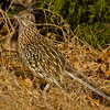 A roadrunner in the Little River area of Lake Thunderbird State Park in Norman.