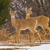 A pair of whitetail does in the Little River area of Lake Thunderbird State Park near Norman.