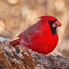 A colorful male cardinal near Lake Thunderbird State Park in Norman.
