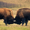 American Bison roam the spectacular Tallgrass Prairie Preserve in Pawhuska freely.  Spotting a buffalo herd is a highlight of any visit to the preserve.