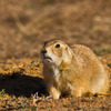 A Black-tailed Prairie Dog at the Wichita Mountains Wildlife Refuge.  Prairie dog colonies are one of the many wildlife attractions at the refuge.