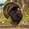 A strutting wild turkey spotted at the Wichita Mountains Wildlife Refuge near Lawton.