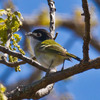 A rare and endangered Black-capped Vireo at the Wichita Mountains Wildlife Refuge near Lawton.