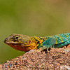 A colorful male Collared Lizard, also known as a Mountain Boomer, was caught sunning himself on a red granite boulder in the Wichita Mountains Wildlife Refuge.