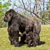 A Lowland Gorilla and her infant enjoy a sunny day at the Oklahoma City Zoo.