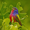Singing Painted Bunting spotted at Lake Thunderbird State Park.