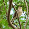 This Northern Mockingbird was spotted in Chandler.