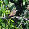 Eastern Wood-Pewee spotted at Claremore Lake.