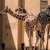 The giraffes at the Oklahoma City Zoo have decided that three heads are better than one.