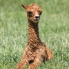 See beautiful alpacas and learn more about them at Zena Suri Alpacas near Grand Lake.