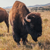 See Oklahoma's state animal, the American bison, in all its glory at the Wichita Mountains Wildlife Refuge near Lawton.