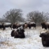 A herd of bison on a snowy day at the Wichita Mountains Wildlife Refuge near Lawton.