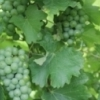 Procure a small supply of wine grapes from a local producer after visiting Sand Stone Spring Vineyard in Mustang.