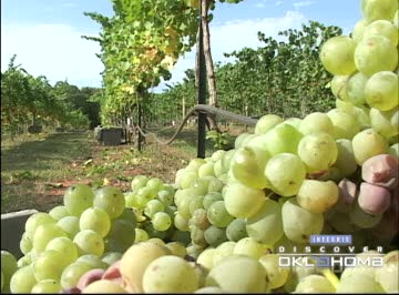 Vineyards and wineries have become quite popular in Oklahoma.