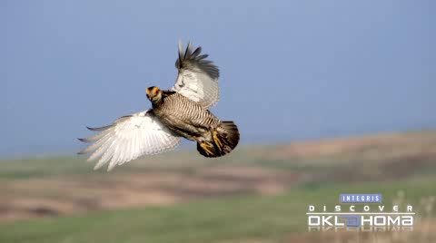 The extremely rare Lesser Prairie Chicken can be viewed in NW Oklahoma