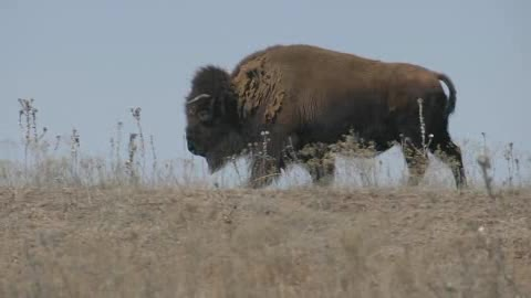 See buffalo roam freely at Sandy Springs Farm in Hinton.