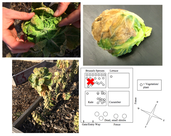 Image:Brussels Sprout Plant.png